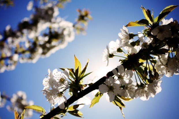 blossoms-cherry-sky-4671-823x550